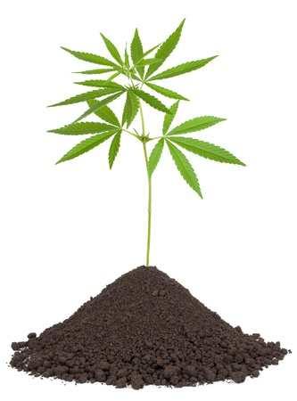 צמח הקנאביס לפסוריאזיס